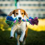 Beagle dog runs in garden towards the camera with colorful toy. Sunny day dog fetching a toy